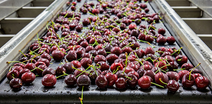 cherries conveyed in a moist area application for further processing